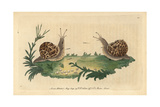 Garden SnailHelix Aspersa (Helix Hortensis)
