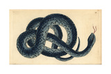 Southern Water Snake  Nerodia Fasciata