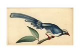 Red-Billed Blue Magpie  Urocissa Erythrorhyncha