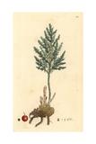 Common Asparagus  Asparagus Officinalis