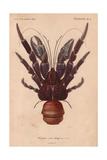 Coconut Crab (Birgus Latroi)