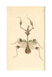 Violin Mantis  Indian Rose Mantis  Gongylus Gongylodes