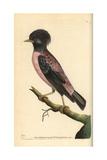Rosy Starling  Sturnus Roseus