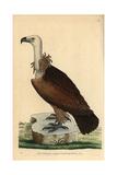 Egyptian Vulture  Neophron Percnoterus  Endangered