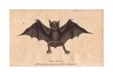Peruvian Bat or Harelipped BatVespertilio Leporinus Noctilio Leporinus
