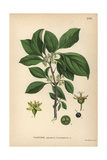 Purging Buckthorn  Rhamnus Cathartica