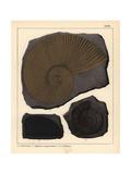 Extinct Fossil Ammonites