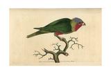 Purple-Headed Parakeet