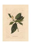 Gardenia Angustifolia  White Gardenia