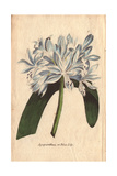Blue Lily or Agapanthus Umbellatus Africanus