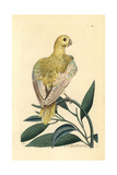 Blue Parakeet  Psittacus Pallidus  Extinct
