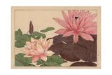 Lotus Flower  Nelumbo Nucifera