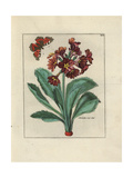 Auricula with Butterfly