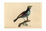 Paradise Tanager (Tanagra)