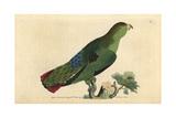 Sapphire-Rumped Parrotlet (Purple-Tailed Parakeet)Touit Purpuratus (Psittacus Porphyrurus)
