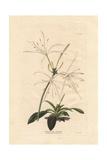Pancratium OvatumWhite Pancratium Amaryllis