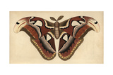 Atlas Moth  Large Moth with Brown  Chocolate  Coffee Patterned WingsAttacus Atlas (Phalaena Atlas)