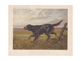 Gordon Setter -Blossom- in a Field Near a Wooden Fence