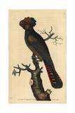 Magnificent Cockatoo  Psittacus Magnificus