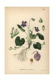 Wood Violet  Viola Odorata