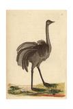 Greater Rhea or American OstrichRhea Americana (Struthio Rhea)