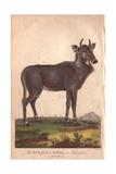 Nilgai (Nylghan) or White Footed Antelope (Boselaphus Tragocamelus)