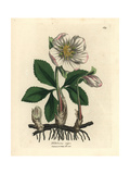 White Flowered Black Hellebore or Christmas Rose  Helleborus Niger