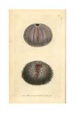 Edible Sea Urchin  Echinus Esculentus
