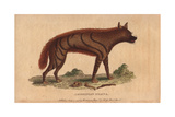 Abyssinian HyenaHyaena Aethiopicus
