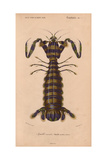 Olive-Green and Purple Striped Giant Mantis Shrimp (Squilla Maculata)