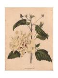 Hibiscus Rosa-Sinensis LuteaYellow Hibiscus