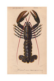 Blue Lobster (Homarus Vulgaris)  with Dark Blue Shell Flecked with Gold