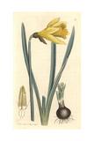 Common Daffodil  Narcissus Pseudo-Narcissus