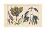 Milkweed  Asclepias Frutescens  Paper Mulberry  Broussonetia Papyrifera  Morus Papyrifera