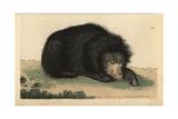 Ursiform Sloth  Ursine Bradypus or Sloth BearMelursus Ursinus (Bradypus Ursinus)