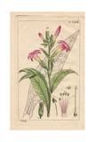 Virginia Tobacco with Pink Flowers and Leaves  Nicotiana Tabacum