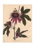Passiflora Caeruleo RacemosaPassionflower Hybrid