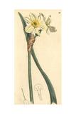 Pale Narcissus or Primrose Peerless  Narcissus Biflorus