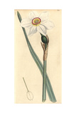 Poetic Narcissus  Narcissus Poeticus