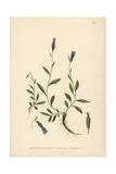 Arctic Bellflower  Campanula Uniflora