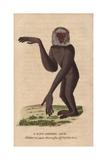 Long-Armed Ape or Gibbon Hylobates