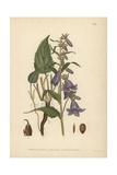 Rampion Bellflower  Campanula Rapunculoides