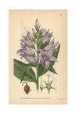 Giant Bellflower  Campanula Latifolia