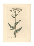 White Flowered Yarrow or Milfoil  Achillea Millefolium