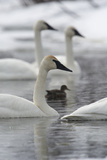 Trumpeter Swans  Cygnus Buccinator  and a Duck Swimming in Calm Water