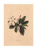 Gardenia Amoena  White Gardenia