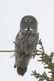 Portrait of a Great Gray Owl  Strix Nebulosa  Perched in a Tree
