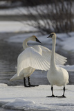 Two Trumpeter Swans  Cygnus Buccinator  Stretching and Standing on Ice in a Waterway