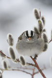 Portrait of a White-Crowned Sparrow  Zonotrichia Leucophrys  Perched in a Pussy Willow