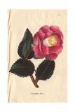 Rose Camellia  Camellia Japonica